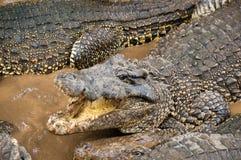 在鳄鱼农场的鳄鱼 库存图片