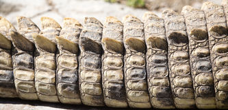 在鳄鱼皮肤的钉在动物园里 图库摄影