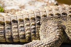 在鳄鱼皮肤的钉在动物园里 免版税库存照片
