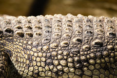 在鳄鱼皮肤的钉在动物园里 免版税图库摄影