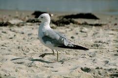 在鳕鱼角马萨诸塞的海鸥 库存照片
