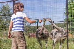 在鸟农场的幼小愉快的微笑的儿童男孩哺养的鸸驼鸟, 免版税库存图片