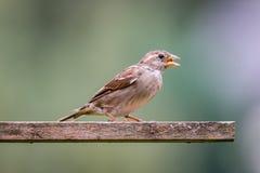 在鸟房子的母麻雀在庭院里 库存图片