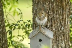 在鸟房子的灰鼠 免版税库存照片