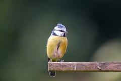 在鸟房子的蓝冠山雀在庭院里 免版税库存照片