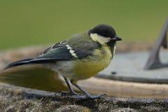在鸟浴栖息的伟大的山雀 图库摄影