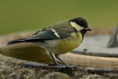 在鸟浴栖息的伟大的山雀 库存照片