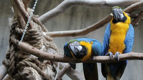 在鸟王国鸟舍,尼亚加拉瀑布,加拿大的蓝色鹦鹉 免版税库存照片