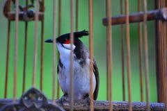 在鸟笼的红whiskered歌手 库存图片