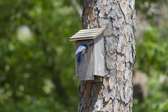 在鸟舍栖息的母东部蓝鸫 免版税库存图片