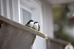 在鸟舍的两只燕子 免版税图库摄影