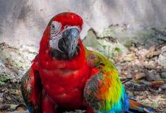 在鸟舍走在地面上的金刚鹦鹉 库存照片