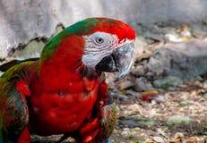 在鸟舍走在地面上的金刚鹦鹉 免版税库存照片