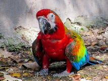 在鸟舍走在地面上的金刚鹦鹉 免版税图库摄影