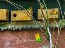 在鸟舍,五颜六色和充满活力的矮小的鹦鹉,普遍的宠物的Fischers爱情鸟在养鸟方面 免版税库存照片