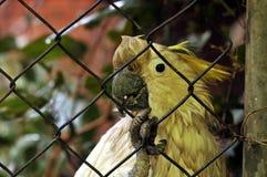 在鸟舍滤网后被监禁的美冠鹦鹉 免版税库存图片