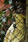 在鸟舍滤网后被监禁的美冠鹦鹉 库存照片