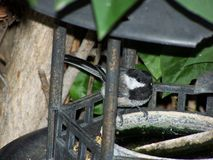 在鸟饲养者特写镜头的山雀 免版税库存照片