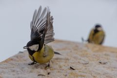 在鸟饲养者的山雀鸟在冬天 库存图片
