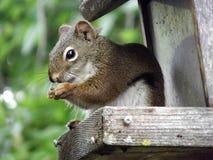 在鸟饲养者的红松鼠 免版税库存图片