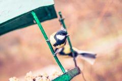 在鸟饲养者(帕鲁斯少校)的伟大的山雀 图库摄影