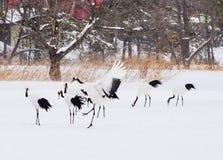 在鸟类保护区,钏路,日本的红被加冠的起重机 图库摄影