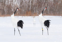 在鸟类保护区,钏路,日本的红被加冠的起重机 库存图片