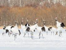 在鸟类保护区,钏路,日本的红被加冠的起重机 免版税库存图片
