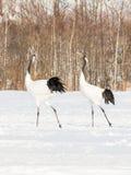 在鸟类保护区,钏路,日本的红被加冠的起重机 免版税图库摄影
