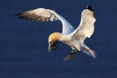 在鸟黑暗的飞行海洋之上开张海鸥翼 与嵌套材料的飞行的北gannet在飞行的票据鸟与深蓝海水在背景中, Flyi 免版税库存照片