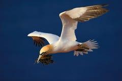 在鸟黑暗的飞行海洋之上开张海鸥翼 与嵌套材料的飞行的北gannet在飞行的票据鸟与深蓝海水在背景中, Flyi 免版税图库摄影