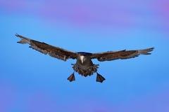 在鸟黑暗的飞行海洋之上开张海鸥翼 在飞行中鸟 巨型海燕,在天空的大海鸟 鸟在自然栖所 从海狮岛, Fal的海鸟 免版税库存照片