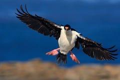 在鸟黑暗的飞行海洋之上开张海鸥翼 皇家粗毛,鸬鹚atriceps,在飞行中鸬鹚 深蓝海和天空与飞行鸟,福克兰群岛 双 免版税库存图片