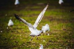在鸟黑暗的飞行海洋之上开张海鸥翼 图库摄影