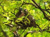 在鸟` s的两只鸟筑巢,幼鸟充满爱的亲吻母亲 免版税图库摄影