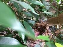 在鸟` s的鸡蛋在树筑巢 免版税库存图片
