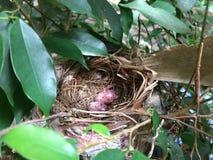 在鸟` s的鸡蛋在树筑巢 库存图片
