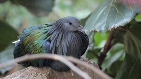 在鸟Kindgom鸟舍的被栖息的蓝色鸟在尼亚加拉瀑布,加拿大 免版税库存照片