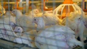 在鸡禽畜的鸡 4K 股票录像