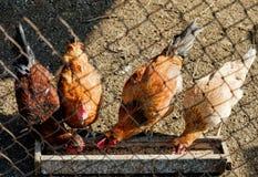 在鸡窝的宠物鸡 免版税库存图片
