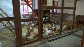 在鸡窝的鸡在家禽场 股票视频