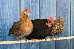 在鸡窝的鸡 免版税库存照片