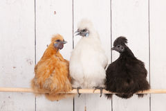 在鸡窝的Silkies鸡 免版税库存照片