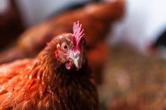 在鸡舍的母鸡 库存照片