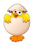 在鸡蛋的滑稽的小鸡 免版税库存照片