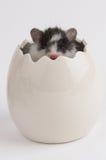 在鸡蛋的仓鼠 免版税库存照片