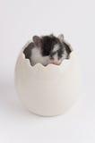 在鸡蛋的仓鼠 库存图片