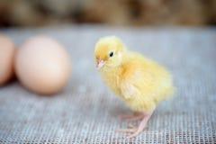 在鸡蛋附近的新出生的小鸡 图库摄影