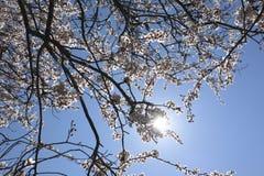 在鸥绽放的美丽的白色樱花 库存照片