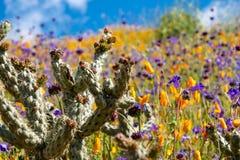 在鸦片和紫色野花的领域的美丽的仙人掌在步行者峡谷加利福尼亚 库存图片